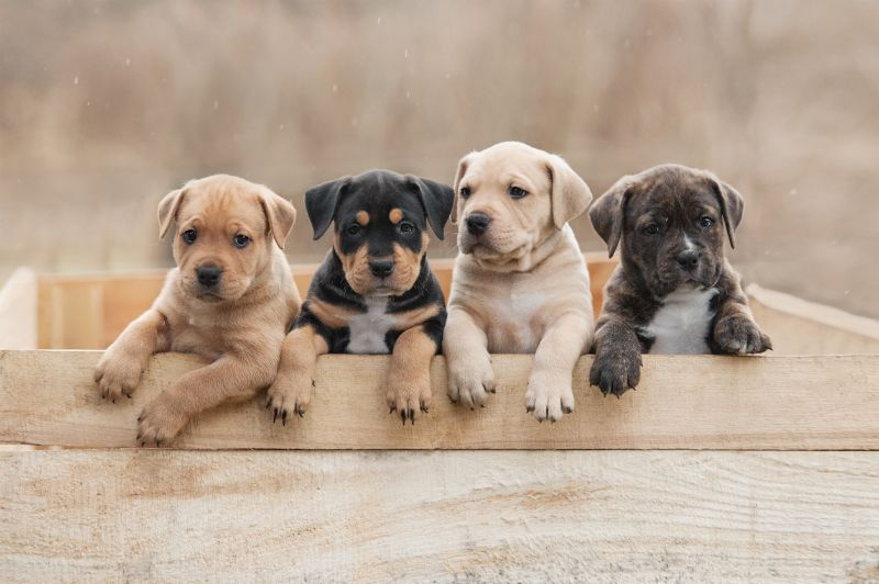 How Do I Buy a New Puppy? Puppies for sale near me?